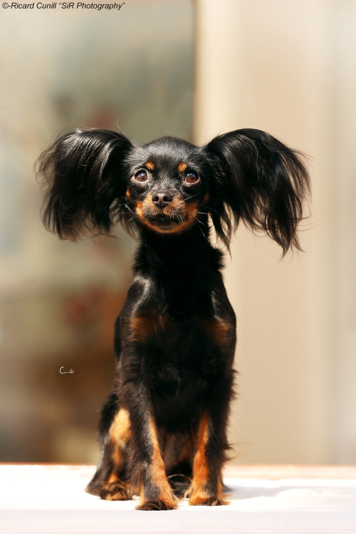 Russkiy Toy Terrier_Cherny Brillant