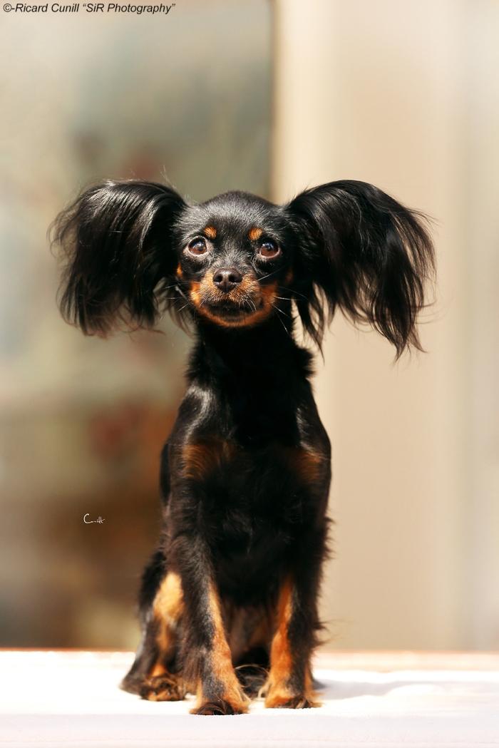 Russkiy Toy Terrier_Cherny Brillant
