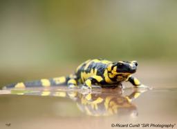 Salamandra (1)