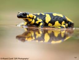 Salamandra (2)