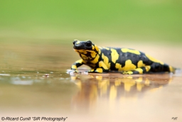 Salamandra (3)