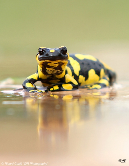 Salamandra (4)
