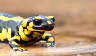 Salamandra (5)