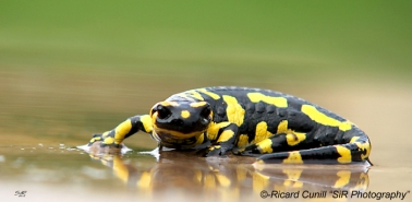 Salamandra (6)