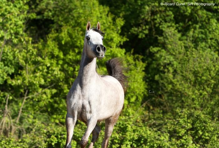 Shazin_MS Delaiyla (El Sid x GHS Daliya) Filly 2012