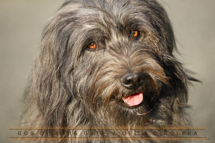 Resultat d'imatges de gos d'atura catala