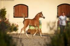 Colt Foal (Shanghai EA x Lyrica EA)